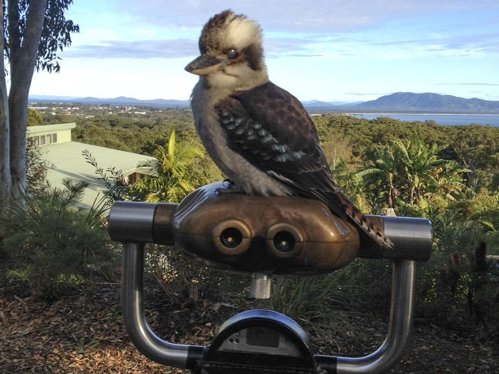 Kookoburra on Binocular in Australia